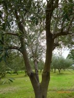 Monteverde Olives Queensland in the Grove